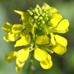 Sinepe / Mustard, 30 ml