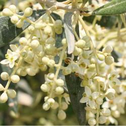 Olīvkoks / Olive, 10 ml