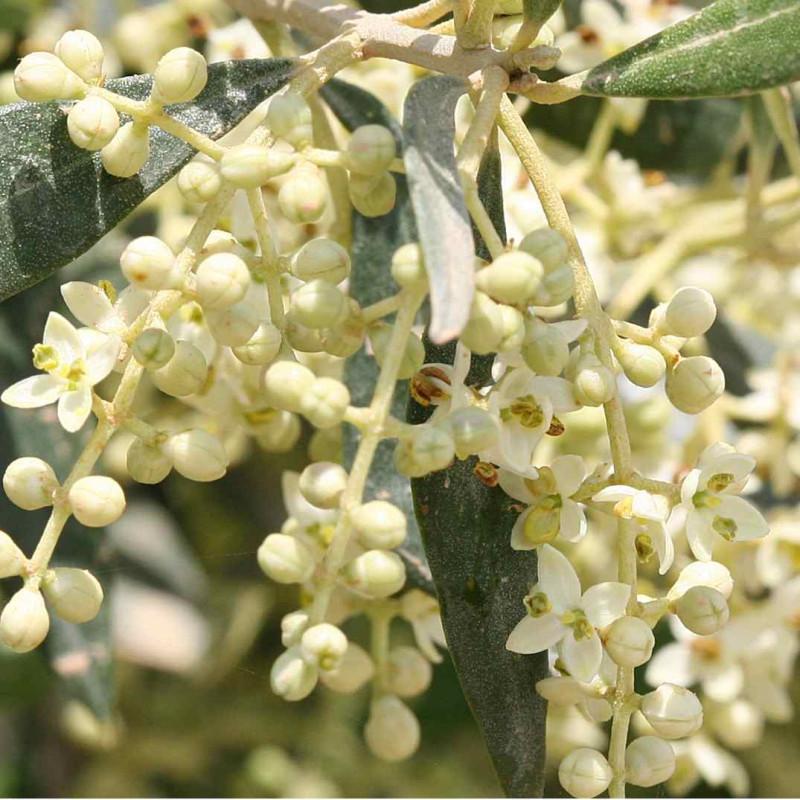 Olīvkoks / Olive, 30 ml