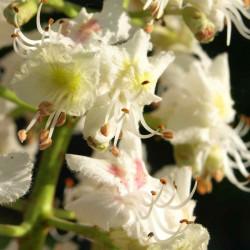 Parastā zirgkastaņa / White Chestnut, 10 ml